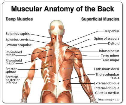 Muscle Strain Patterns - Manchester-Bedford Myoskeletal LLC