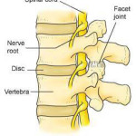 normal vertebrae