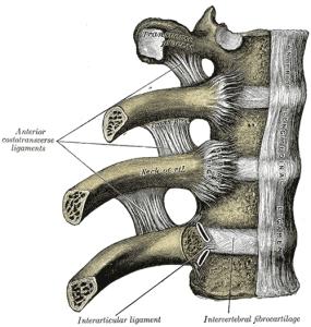 rib ligaments